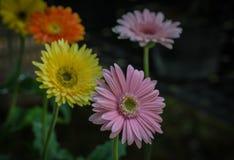 Όμορφα λουλούδια gerbera Στοκ Φωτογραφία
