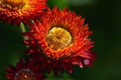 Όμορφα λουλούδια Helichrysum Στοκ Φωτογραφία