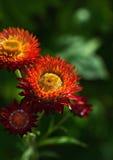 Όμορφα λουλούδια Helichrysum Στοκ φωτογραφίες με δικαίωμα ελεύθερης χρήσης