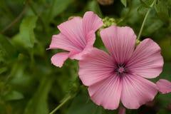 Όμορφα λουλούδια lavatera Ρόδινα λουλούδια lavatera στο μουτζουρωμένο πράσινο υπόβαθρο Στοκ Εικόνες