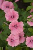 Όμορφα λουλούδια lavatera Ρόδινα λουλούδια lavatera στο μουτζουρωμένο πράσινο υπόβαθρο Στοκ φωτογραφίες με δικαίωμα ελεύθερης χρήσης