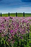 Όμορφα λουλούδια lovender Στοκ φωτογραφία με δικαίωμα ελεύθερης χρήσης