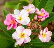 Όμορφα λουλούδια plumaria στο δέντρο εγκαταστάσεων Στοκ Φωτογραφίες