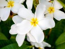 Όμορφα λουλούδια plumaria στο δέντρο εγκαταστάσεων Στοκ Εικόνα
