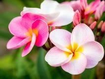 Όμορφα λουλούδια plumaria στο δέντρο εγκαταστάσεων Στοκ φωτογραφία με δικαίωμα ελεύθερης χρήσης
