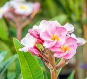 Όμορφα λουλούδια plumaria στο δέντρο εγκαταστάσεων Στοκ εικόνα με δικαίωμα ελεύθερης χρήσης