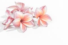 Όμορφα λουλούδια plumeria ή λουλούδια frangipani Στοκ φωτογραφία με δικαίωμα ελεύθερης χρήσης