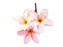 Όμορφα λουλούδια plumeria στο λευκό Στοκ φωτογραφίες με δικαίωμα ελεύθερης χρήσης