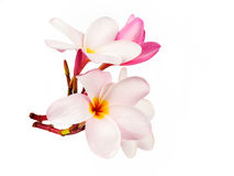 Όμορφα λουλούδια plumeria στο λευκό Στοκ Εικόνα