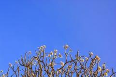 Όμορφα λουλούδια plumeria Στοκ εικόνες με δικαίωμα ελεύθερης χρήσης