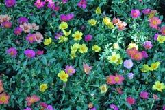 Όμορφα λουλούδια portulaca Στοκ Εικόνες