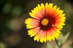 Όμορφα λουλούδια, pulchella Foug Gaillardia Στοκ φωτογραφία με δικαίωμα ελεύθερης χρήσης