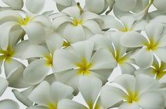 Όμορφα πέταλα plumeria στο άσπρο υπόβαθρο Στοκ Εικόνες