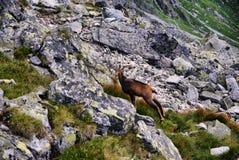 Όμορφα περίχωρα Swinica και άγριες αίγες βουνών Στοκ φωτογραφία με δικαίωμα ελεύθερης χρήσης