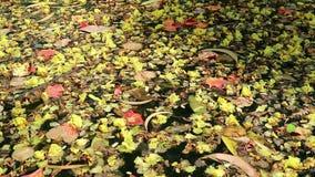Όμορφα πεσμένα λουλούδια και φύλλα που επιπλέουν στο πράσινο νερό φιλμ μικρού μήκους