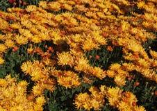 Όμορφα πορτοκαλιά χρυσάνθεμα Στοκ εικόνες με δικαίωμα ελεύθερης χρήσης