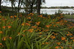 Όμορφα πορτοκαλιά Crocosmia & x28 Columbus& x29  λουλούδια στοκ εικόνες με δικαίωμα ελεύθερης χρήσης