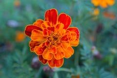 Όμορφα πορτοκαλιά marigolds κλείνουν επάνω στοκ φωτογραφίες