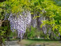 Όμορφα πορφυρά ιώδη λουλούδια που κρεμούν στο δέντρο υπαίθρια στοκ εικόνα