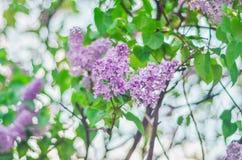 Όμορφα πορφυρά ιώδη λουλούδια κλάδων υπαίθρια Στοκ Φωτογραφία