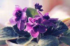 Όμορφα πορφυρά ιώδη λουλούδια Στοκ φωτογραφίες με δικαίωμα ελεύθερης χρήσης