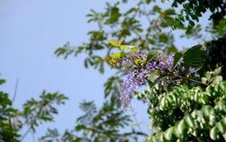 Όμορφα πορφυρά λουλούδια αμπέλων γυαλόχαρτου στοκ φωτογραφίες