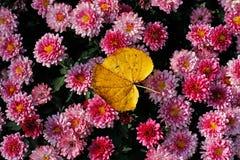 Όμορφα πορφυρά λουλούδια χρυσάνθεμων και φύλλο φθινοπώρου Στοκ Φωτογραφίες