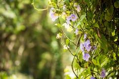 Όμορφα πορφυρά λουλούδια, Vinales, Pinar del Rio, Κούβα Κινηματογράφηση σε πρώτο πλάνο ανασκόπηση που θολώνεται Στοκ Εικόνες