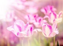 Όμορφα πορφυρά λουλούδια Defocus - τουλίπες Στοκ Εικόνες