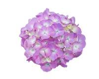 Όμορφα πορφυρά λουλούδια Hydrangeas που απομονώνονται στο λευκό Στοκ Φωτογραφίες