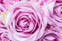 Όμορφα πορφυρά τριαντάφυλλα Στοκ Εικόνες
