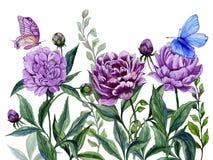 Όμορφα πορφυρά peony λουλούδια μίσχοι με τα πράσινα φύλλα και τις φωτεινές πεταλούδες που κάθονται σε τους η ανασκόπηση απομόνωσε Στοκ φωτογραφίες με δικαίωμα ελεύθερης χρήσης