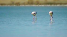 Όμορφα πουλιά φλαμίγκο με τις αντανακλάσεις, που περπατούν στην αλατισμένη λίμνη της Λάρνακας στη Κύπρο απόθεμα βίντεο