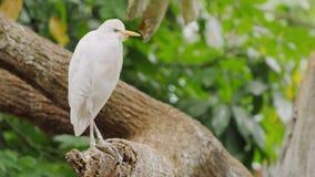 Όμορφα πουλιά στα δέντρα - δυτικός τσικνιάς βοοειδών και ερυθρά θρεσκιόρνιθα φιλμ μικρού μήκους