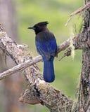 Όμορφα πουλιά της Αλάσκας, ο αστρικός μπλε Jay Στοκ Εικόνες