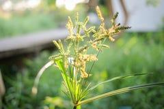 Όμορφα πράσινα λουλούδι ή poaceae χλόης στον κήπο για τη φύση Στοκ Εικόνες