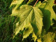 Όμορφα πράσινα φύλλα με τη δροσιά πρωινού, Λιθουανία στοκ εικόνα