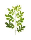 Όμορφα πράσινα φύλλα στο άσπρο υπόβαθρο Στοκ Φωτογραφίες