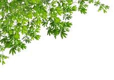 Όμορφα πράσινα φύλλα στο άσπρο υπόβαθρο Στοκ φωτογραφία με δικαίωμα ελεύθερης χρήσης