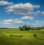 όμορφα πρόβατα βουνών λιβαδιών κοπαδιών Στοκ εικόνα με δικαίωμα ελεύθερης χρήσης