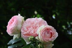 Όμορφα ρόδινα αγγλικά τριαντάφυλλα κήπων στοκ φωτογραφίες