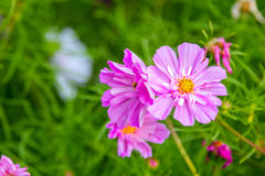 Όμορφα ρόδινα διακοσμητικά λουλούδια κόσμου Στοκ εικόνα με δικαίωμα ελεύθερης χρήσης
