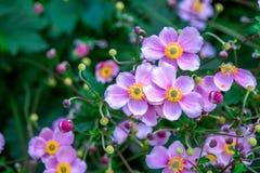 Όμορφα ρόδινα ιαπωνικά λουλούδια anemone Στοκ Εικόνες