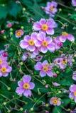 Όμορφα ρόδινα ιαπωνικά λουλούδια anemone Στοκ εικόνα με δικαίωμα ελεύθερης χρήσης