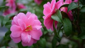 Όμορφα ρόδινα λουλούδια κινηματογραφήσεων σε πρώτο πλάνο στο φυσικό φως Στοκ εικόνα με δικαίωμα ελεύθερης χρήσης