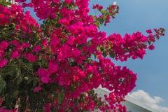 Όμορφα ρόδινα λουλούδια στη Κύπρο Στοκ Φωτογραφίες