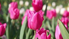 Όμορφα ρόδινα λουλούδια τουλιπών Ύφος κινηματογραφήσεων σε πρώτο πλάνο φιλμ μικρού μήκους