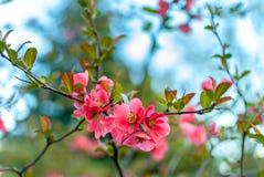 Όμορφα ρόδινα λουλούδια του ιαπωνικού κυδωνιού Στοκ φωτογραφία με δικαίωμα ελεύθερης χρήσης