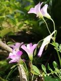 Όμορφα ρόδινα μικρά λουλούδια χρώματος σε έναν κήπο Στοκ φωτογραφία με δικαίωμα ελεύθερης χρήσης