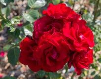 Όμορφα ρόδινα τριαντάφυλλα και κόκκινα τριαντάφυλλα στον κήπο, τριαντάφυλλα για την ημέρα βαλεντίνων Στοκ Φωτογραφία
